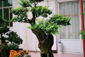 怎么去除小叶黄杨盆景花蕾的3种方法