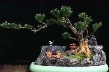 黄杨盆景怎么蟠扎修剪的方法 图片