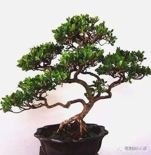 小叶黄杨盆景怎么繁殖的方法