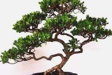 小叶黄杨盆景老桩怎么繁殖的方法 图片
