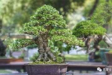 选择覆土栽种提根式盆景的方法 图片