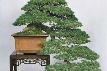 黄杨怎么制作成舍利干盆景的方法 图片