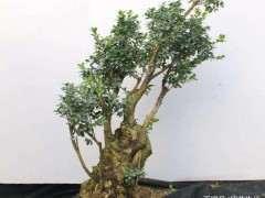 春季怎么栽植黄杨下山桩的的5个方法