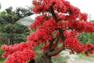 映山红盆景产在什么地方 生活习性是什么