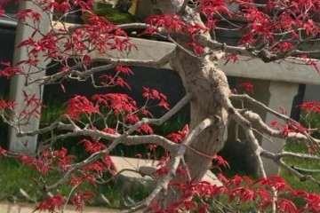 适合新手盘扎的红枫盆景造型