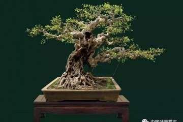 郑永泰大师解析两件闽南榕树盆景造型