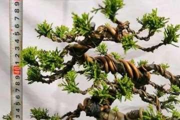 图解 定型1年的附石松树盆景怎么造型