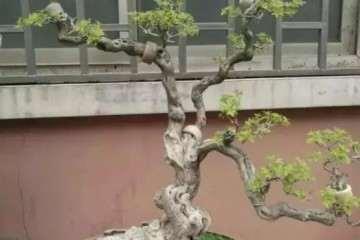 黄荆树桩盆景怎么施肥的方法 图片