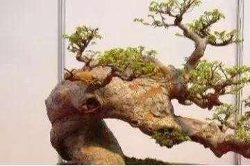 榆树老桩盆景不发芽不生根怎么办 图片