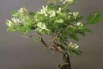 金银花盆景怎么修剪的方法 图片