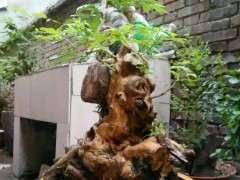 黄荆下山桩的根部萌蘖芽需要抹掉吗?