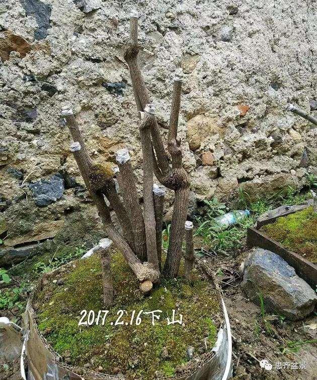 南天竹下山桩怎么制作造型