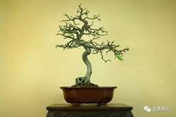 木瓜海棠盆景如何制作造型的方法