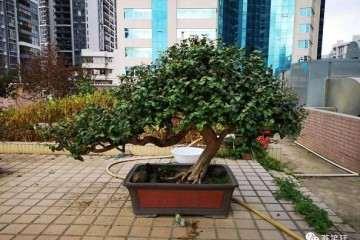 89岁老人价值千万的榆树盆景谁来买