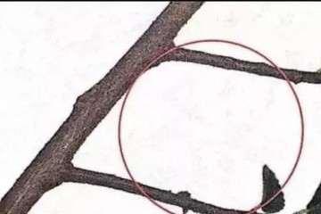 图解 盆景枝条怎样修剪造型的方法