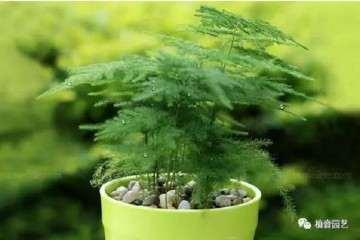 怎样制作造型最好看的文竹盆景 图片