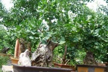 银杏老桩盆景怎样养护管理与观赏