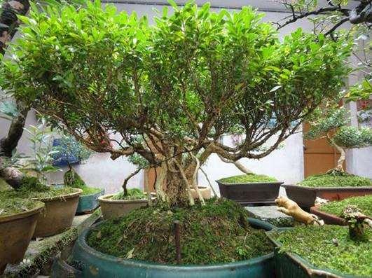 小叶瓜子黄杨盆景怎样上盆养护