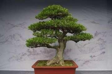 小叶瓜子黄杨盆景怎样造型与换盆