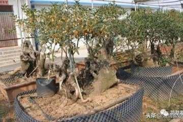 天价桂花盆景 一棵卖到18万 图片