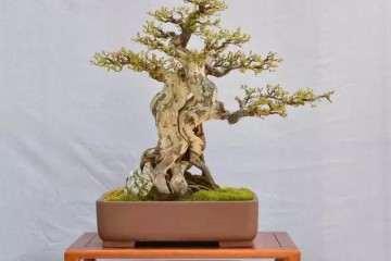 黄杨盆景下山桩头发芽后做到3点养护