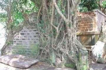 百年榕树因拆迁被砍 老人怜惜挖一条盆景