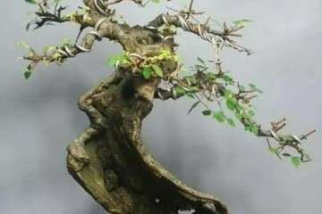 榆树老桩盆景怎样修剪的4个方法 图片