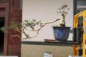 大叶黄杨盆景怎么地栽造型的方法