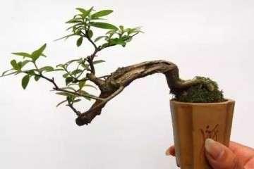 微型盆景怎样翻盆再栽植的方法