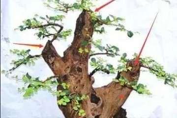 图解 榆树盆景怎样留枝蓄枝的方法