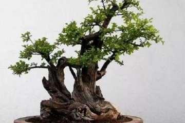 什么树桩做盆景最好的3个方法 图片