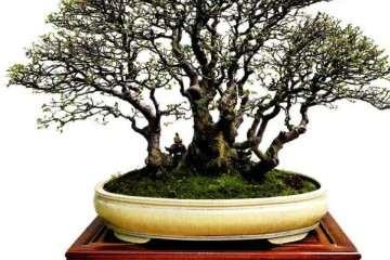 榆树盆景的图片欣赏《春野牧歌》