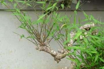 竹子盆景怎样浇水施肥的方法
