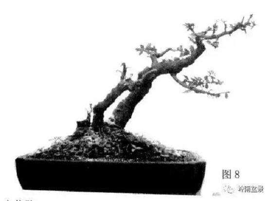 岭南树桩盆景制作中的7个宜忌