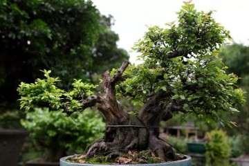 雀梅盆景夏季可不可以上盆移栽 图片
