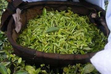 怎么施肥 用茶叶做盆景的肥料 最好
