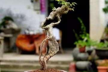 榆树盆景的其他原因也导致生长不良