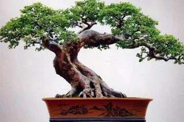 榆树盆景施肥不当造成榆树掉叶或不长叶