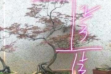 养护的红枫盆景桩头太高 怎么矮化