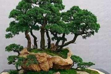 丛林式盆景怎么造型设计的方法
