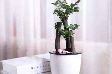 小叶紫檀盆景怎么浇水施肥的方法