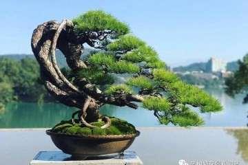 台湾五针松盆景怎么培养管理要点