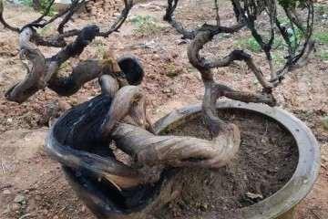 帮忙看看这几个盆景树桩 哪个造型最好看