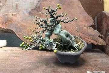 榕树盆景怎么盘扎造型的方法 图片