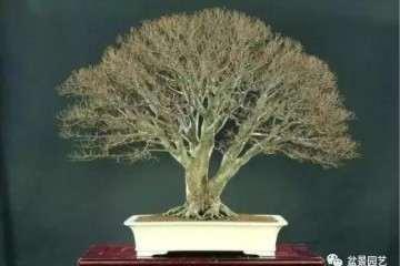 榉树盆景怎么鉴赏与栽培的方法