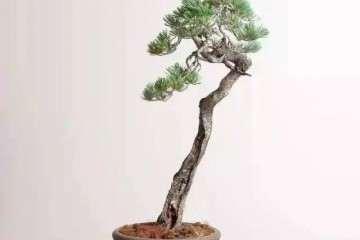 怎样把一棵直立的树做成文人树盆景?