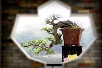 圖解 制作嶺南盆景的5個造型枝法