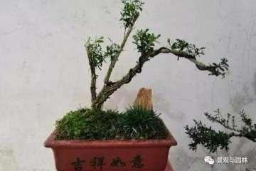 3个雀舌黄杨小品盆景 你看那个造型最好