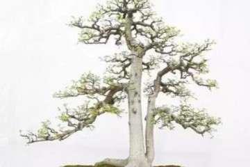 双干盆景造型有哪些风格特征