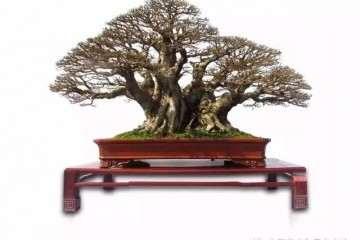 谈谈树木盆景造型中的结顶